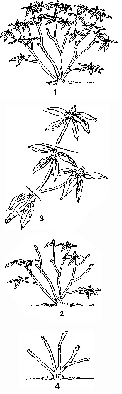 Формирование куста рододендрона