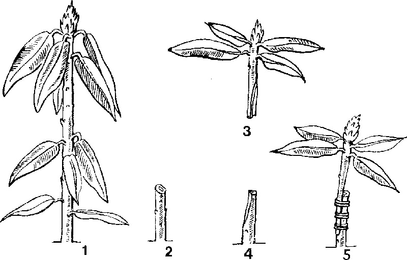 Прививка рододендронов простой копулировкой