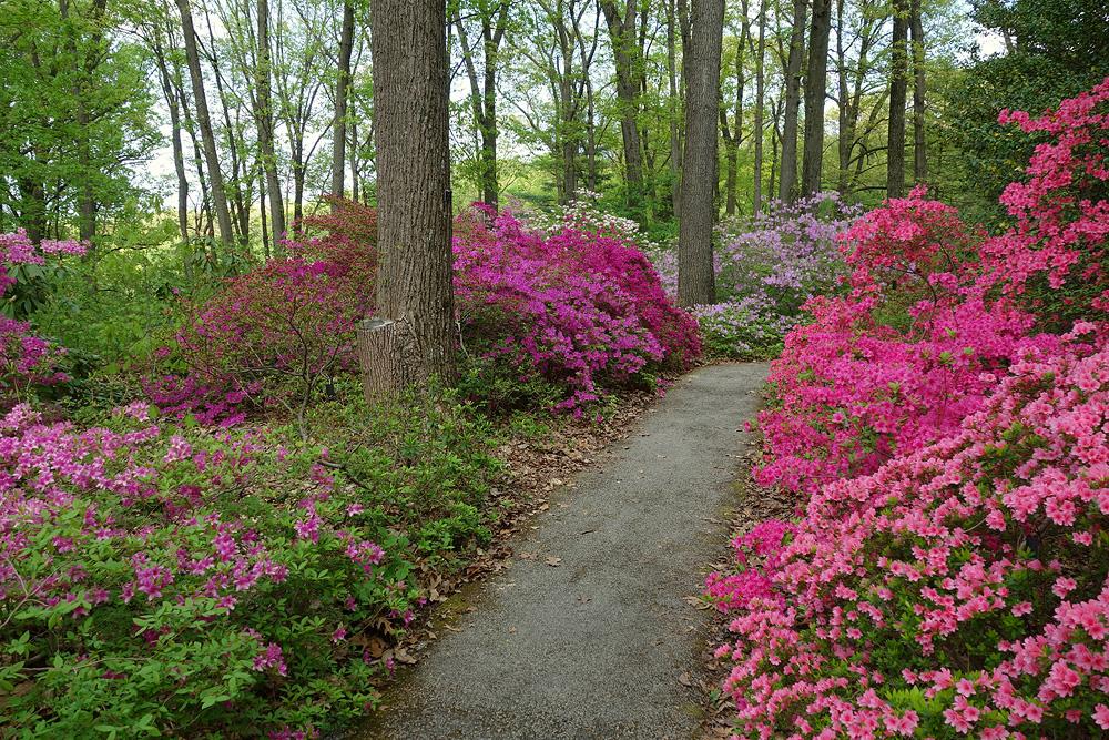 Jenkins Arboretum рододендроны