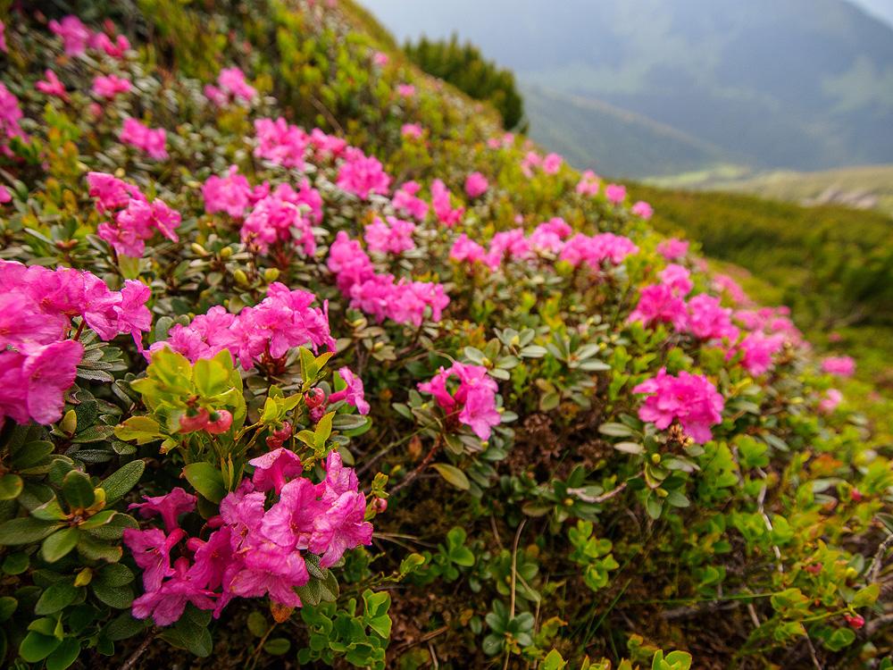 Rhododendron myrtifolium - рододендрон Кочи