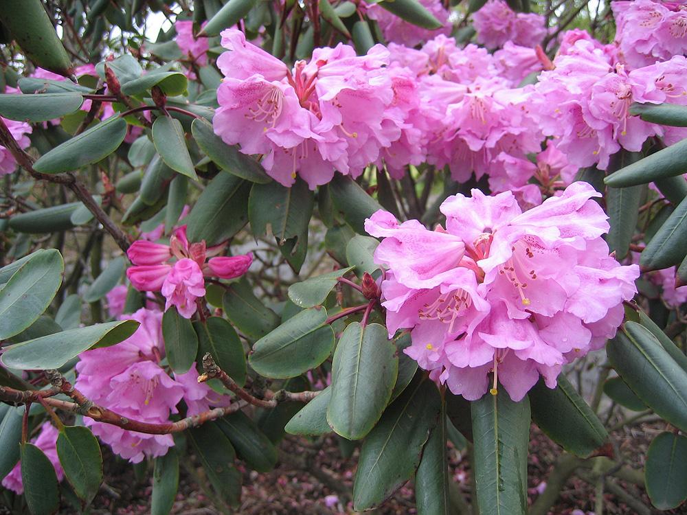 Rhododendrom oreodoxa var. fargesii - рододендрон украшающий