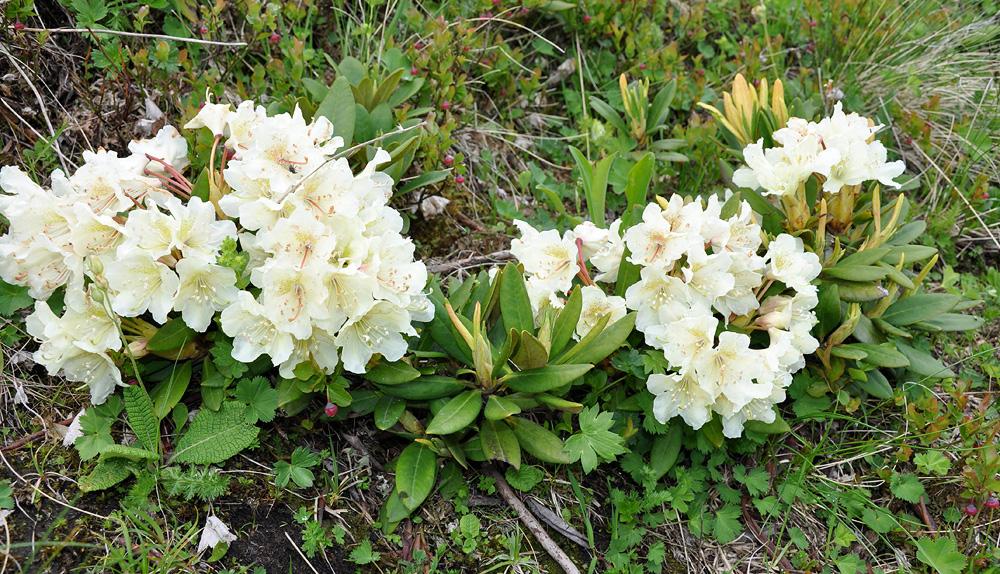 Rhododendron caucasicum - рододендрон кавказский
