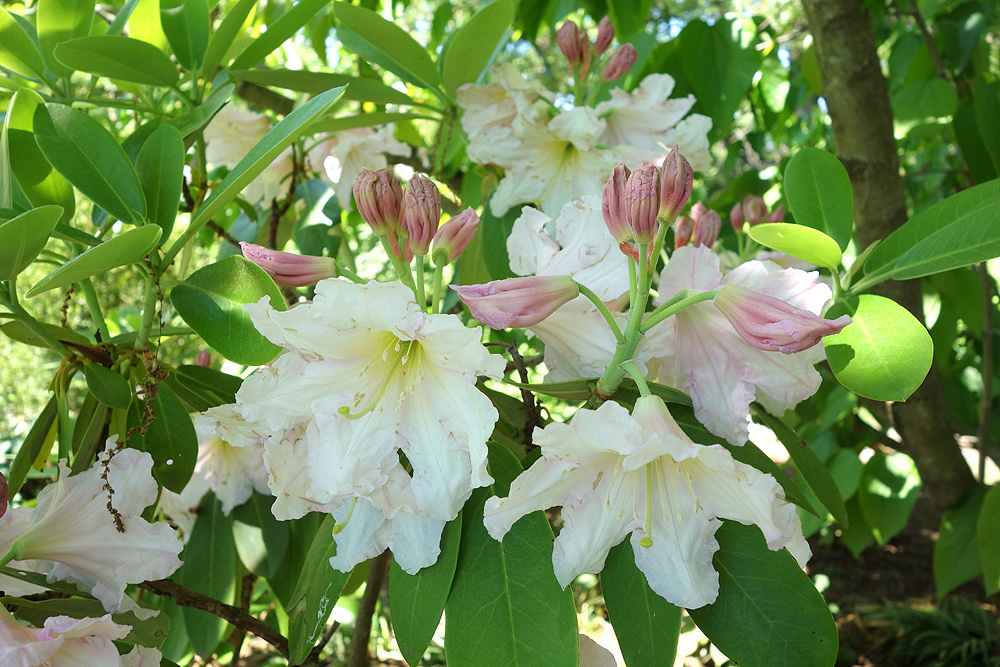 Rhododendron discolor - рододендрон Гоулстона