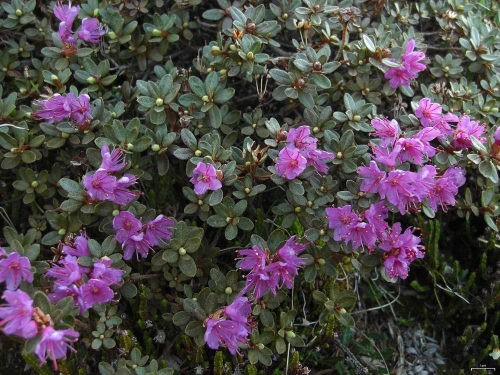Rhododendron lapponicum - рододендрон мелколистный
