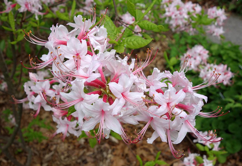 Rhododendron periclymenoides - рододендрон голоцветковый