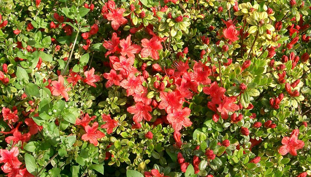 Rhododendron obtusum - рододендрон тупой