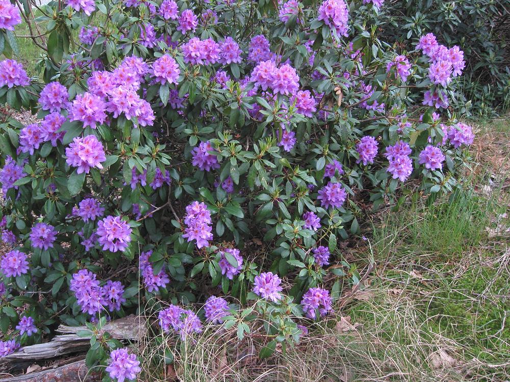 Rhododendron ponticum - рододендрон понтийский