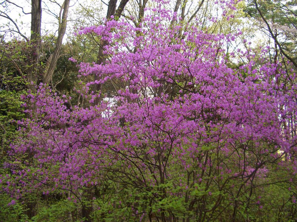 Rhododendron farrerae - рододендрон сетчатый