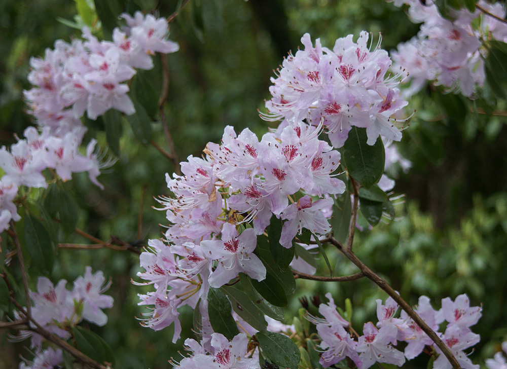 Rhododendron rigidum рододендрон жесткий