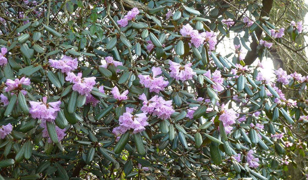 Rhododendron rubiginosum рододендрон ржаво-красный