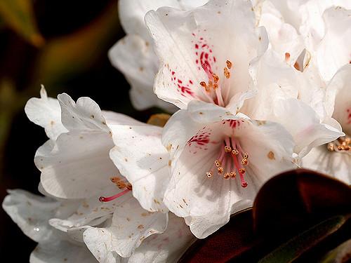 Rhododendron traillianum - рододендрон Трайла