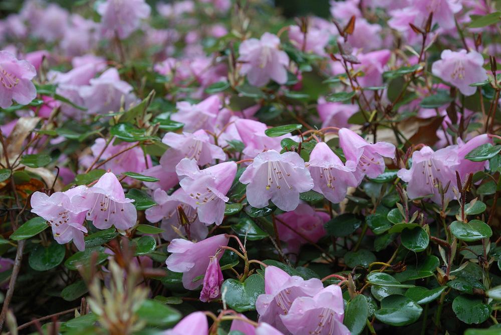 Rhododendron williamsianum - рододендрон Уильямса