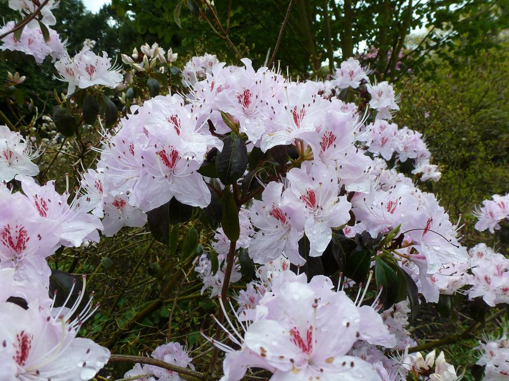 Rhododendron yunnanense - рододендрон юньнаньский