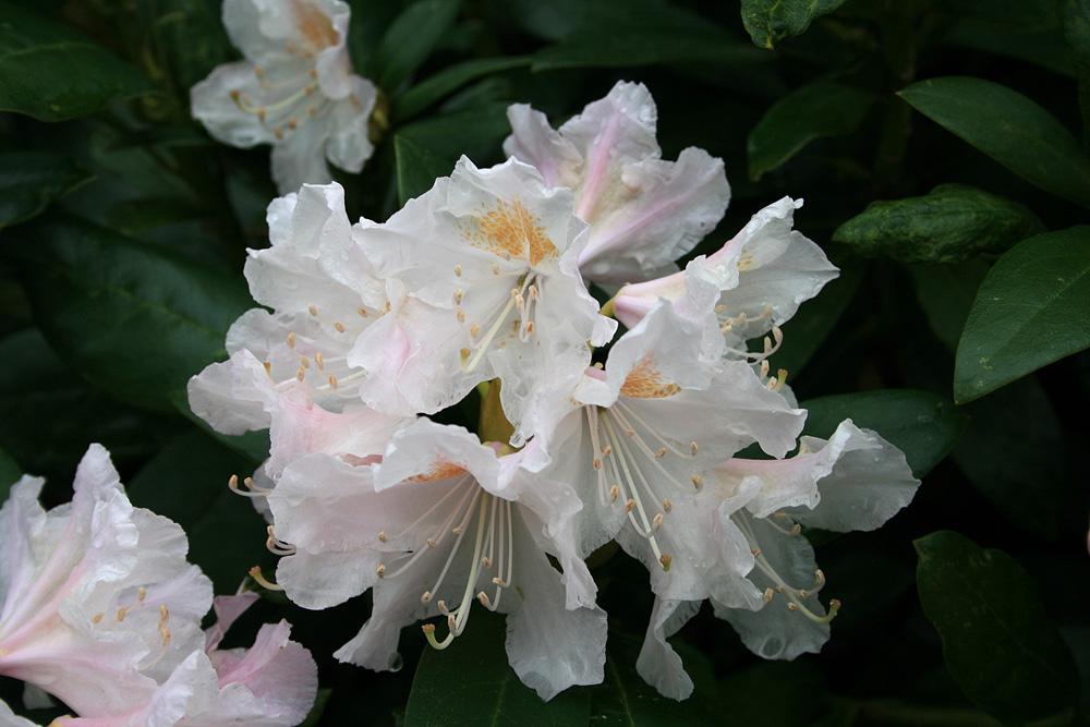 Rhododendron 'Cunningham's White' рододендрон гибридный