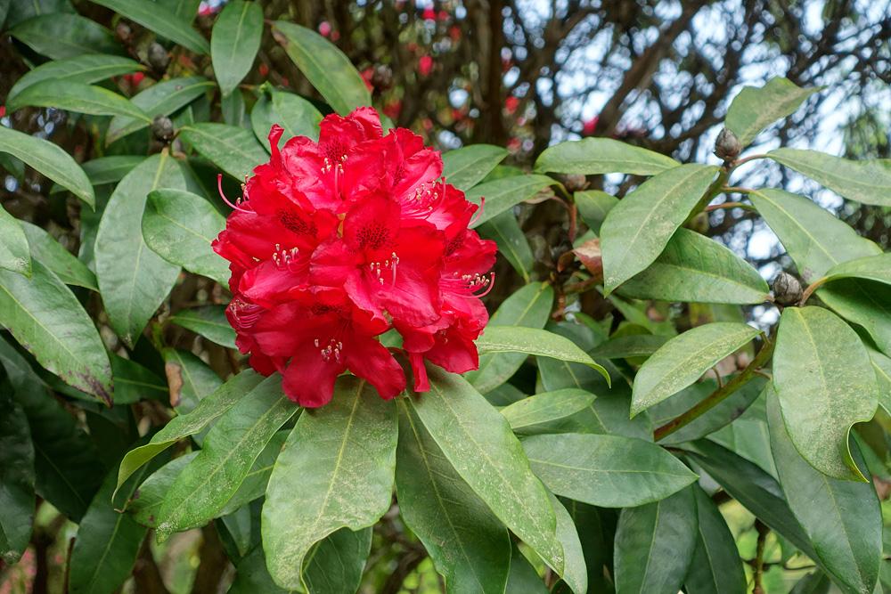 Rhododendron 'Doncaster' - рододендрон гибридный