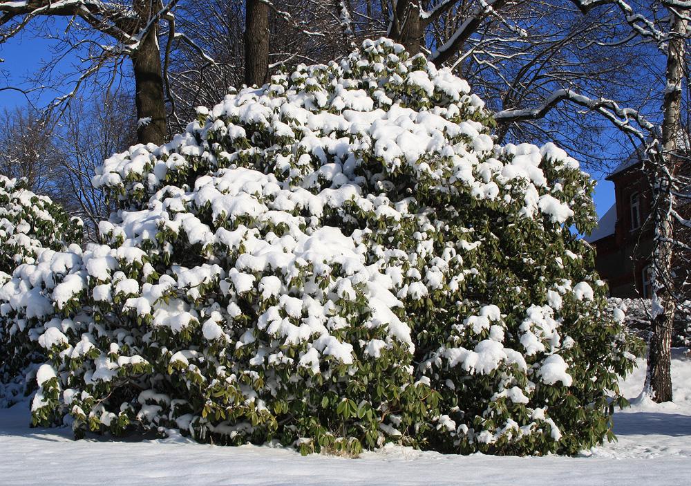 рододендрон зимой