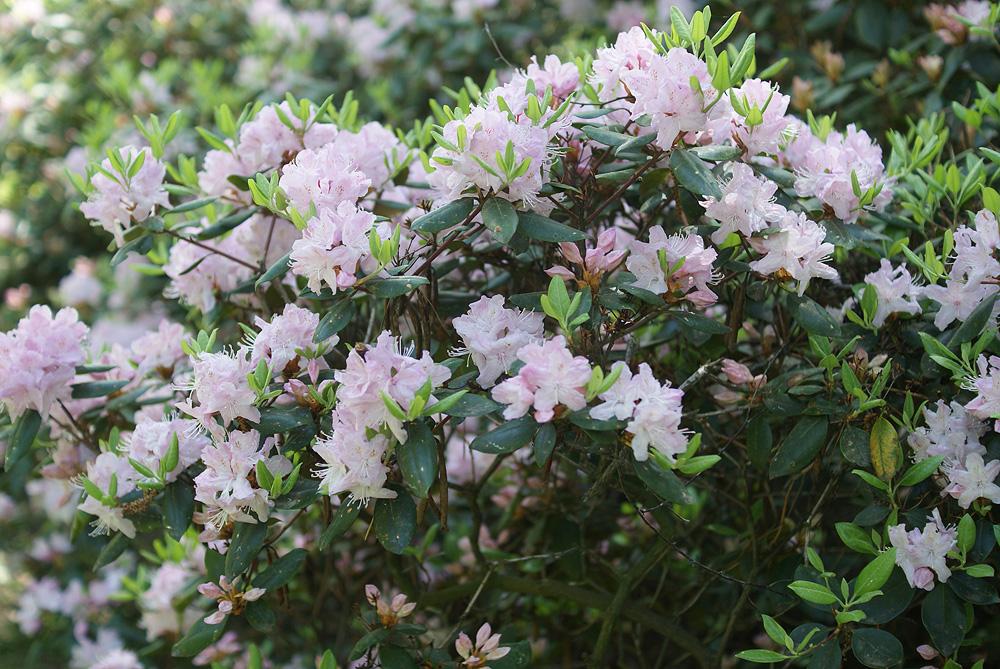 Rhododendron carolinianum - рододендрон Каролинский
