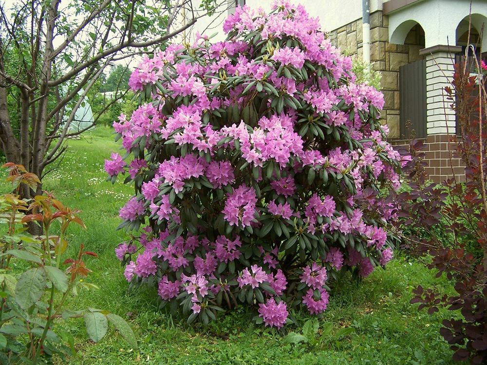 Rhododendron catawbiense - рододендрон кэтевбинский