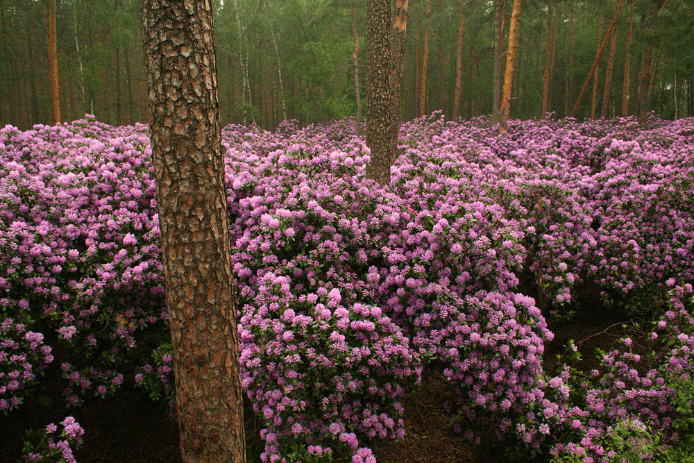 Rhododendron catawbiense рододендроны под соснами