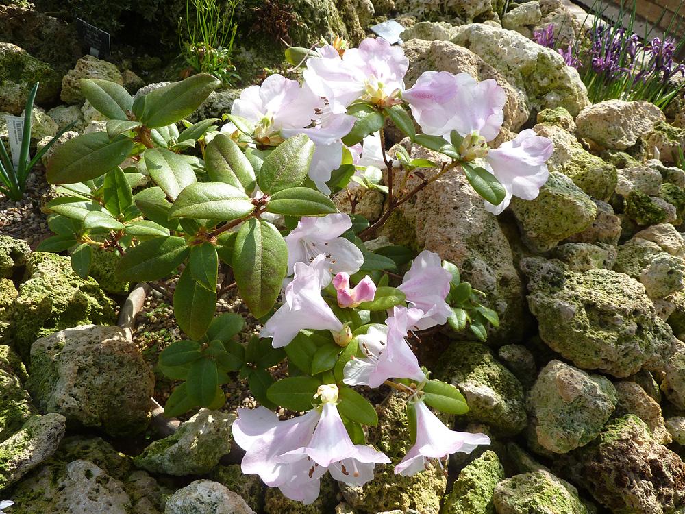 Rhododendron ciliatum - рододендрон реснитчатый
