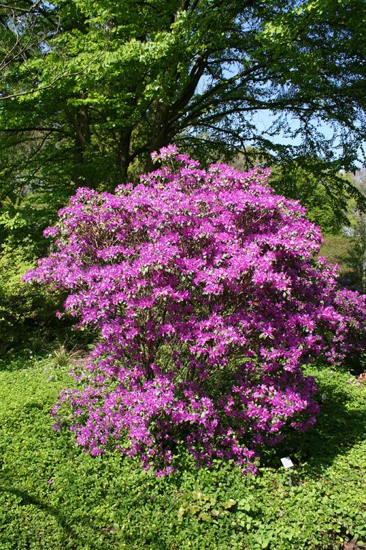 Rhododendron concinnum - рододендрон прекрасный