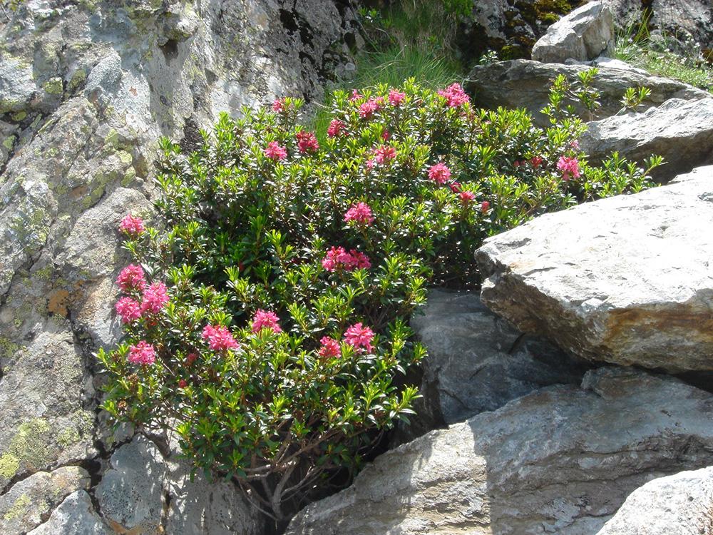 Rhododendron ferrugineum рододендроны