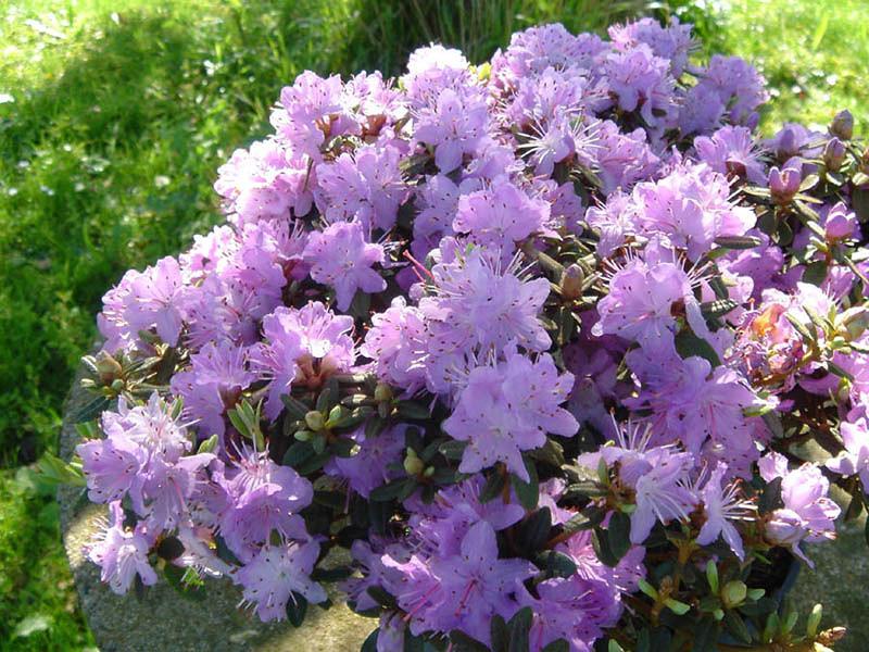 Rhododendron impeditum - рододендрон плотный