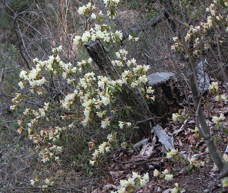 Rhododendron keiskei рододендрон Кейсуке