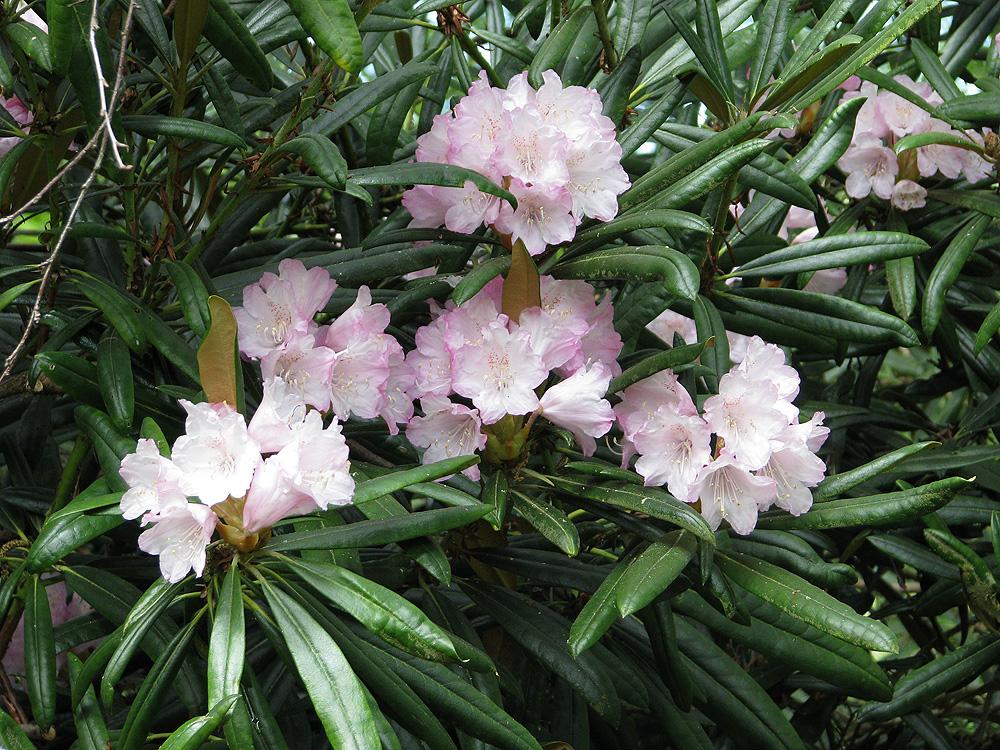 Rhododendron makinoi - рододендрон Макино