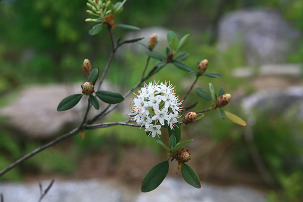 Rhododendron micranthum - рододендрон мелкоцветковый