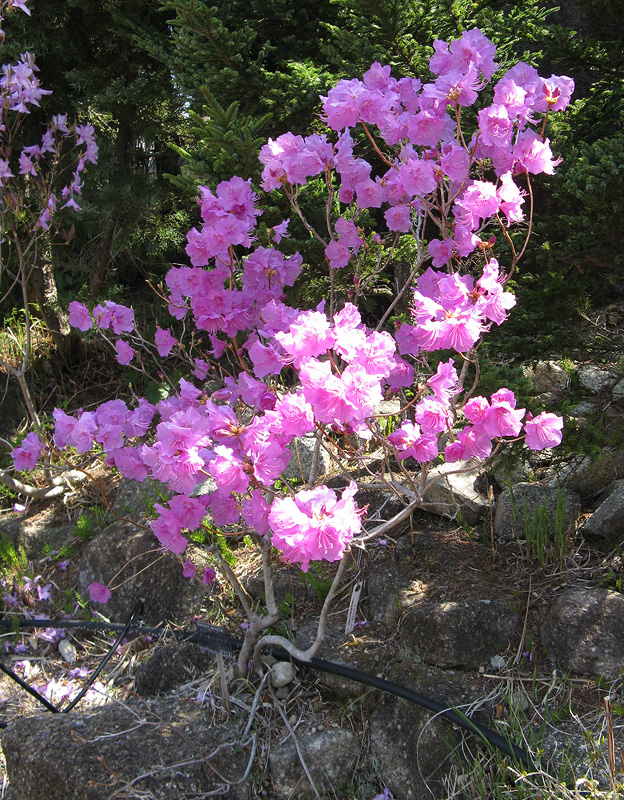 Rhododendron mucronulatum - рододендрон остроконечный
