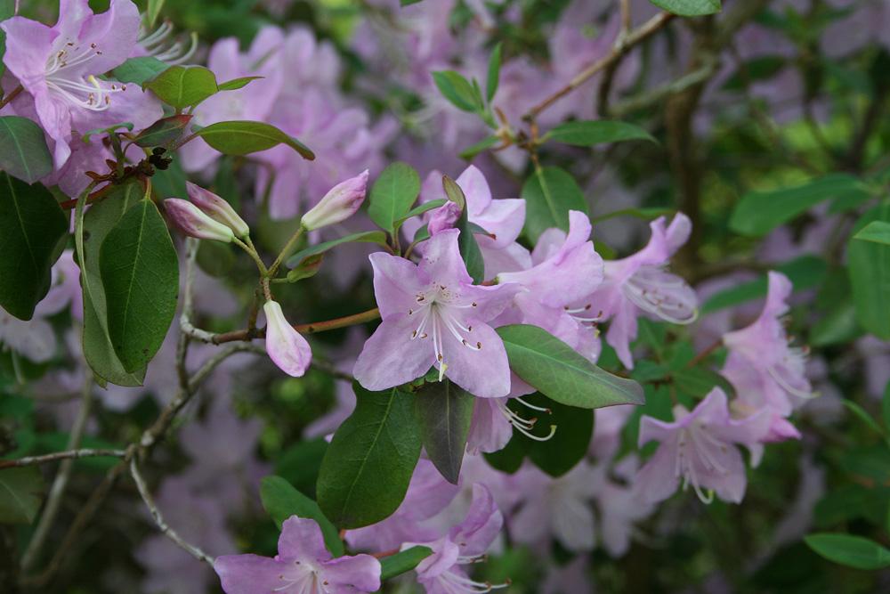 Rhododendron oreotrephes - рододендрон уважаемый