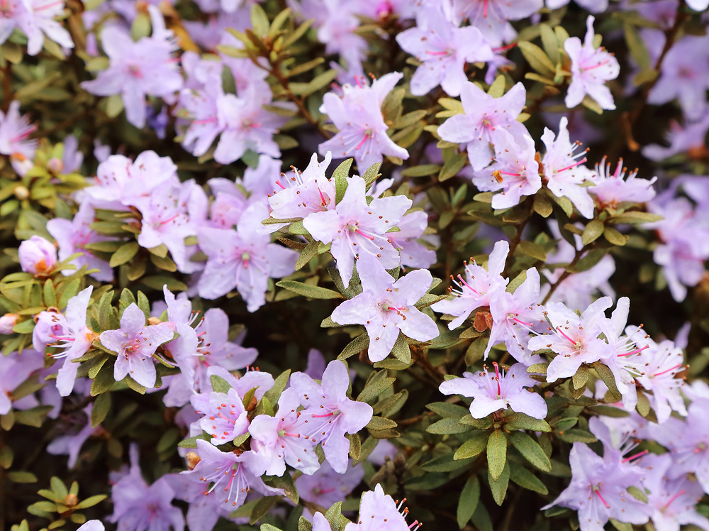 Rhododendron orthocladum