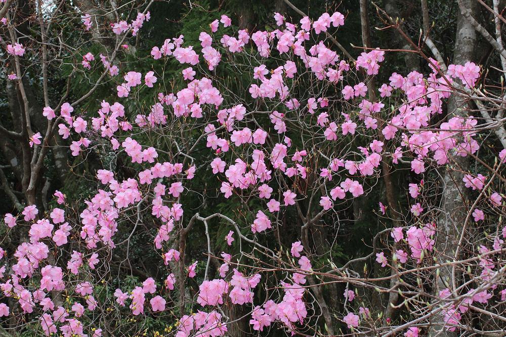 Rhododendron pentaphyllum var. nikoense - рододендрон пятилистковый