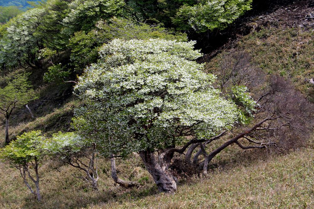 Rhododendron quinquefolium - рододендрон пятилистный