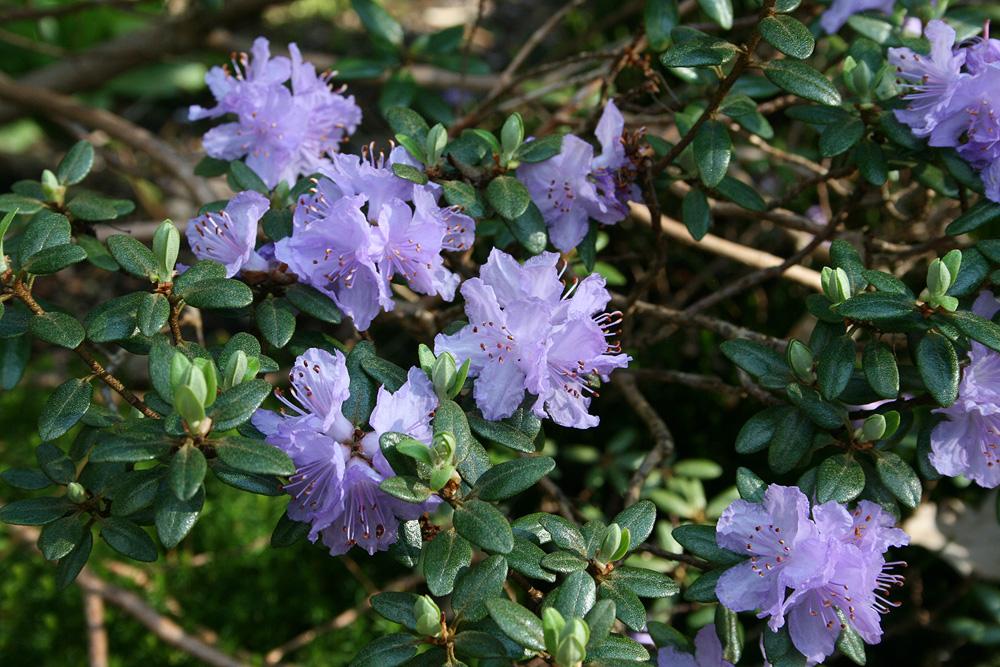 Rhododendron russatum рододендрон красноватый