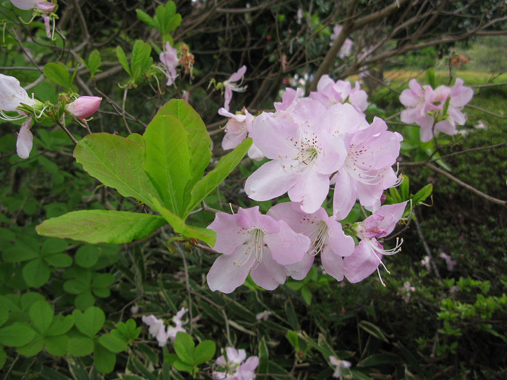 Rhododendron schlippenbachii рододендрон Шлиппенбаха