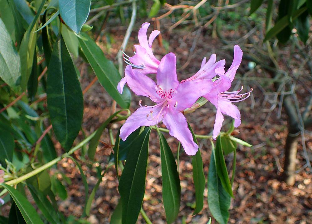 Rhododendron searsiae рододендрон Серс