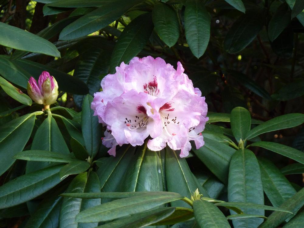 Rhododendron sutchuenense - рододендрон сычуаньский
