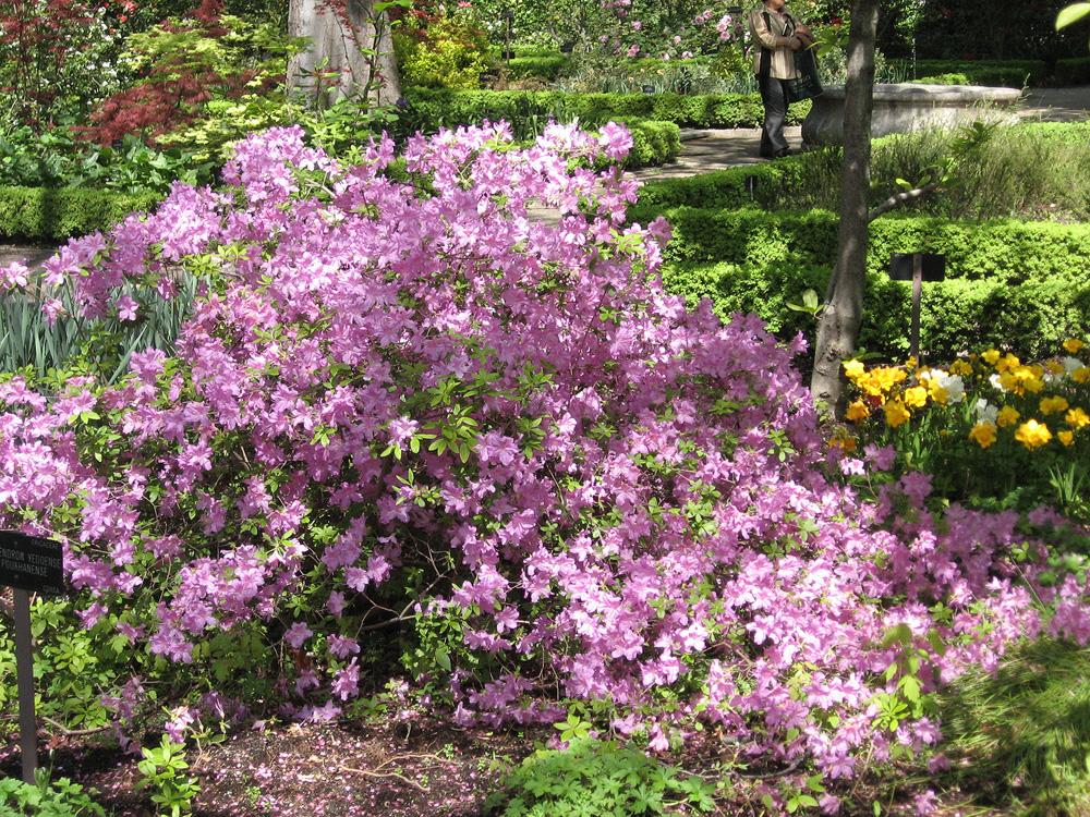 Rhododendron yedoense var poukhanense - рододендрон иедский