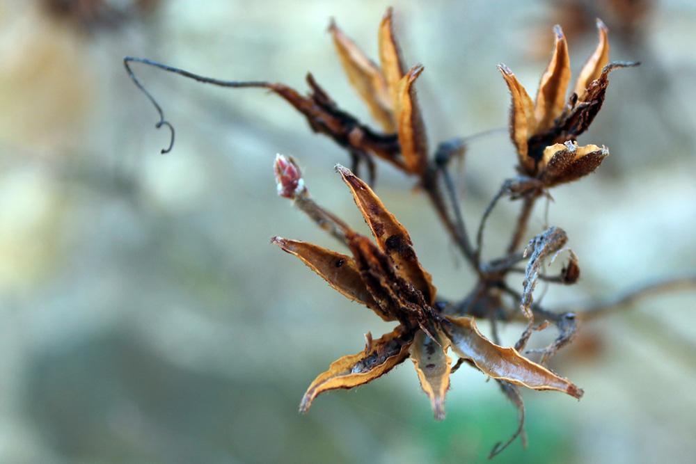 Раскрывшиеся семенные коробочки рододендрона