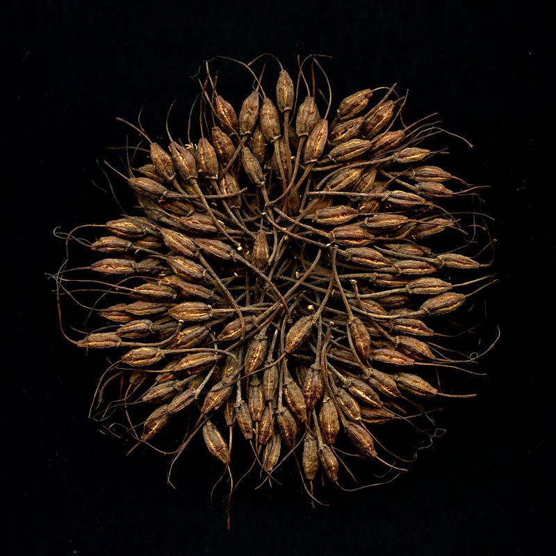 семена рододендрона